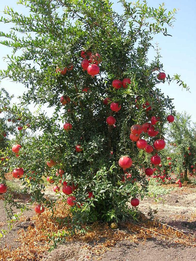 Pregnancy nutrition pomegranates