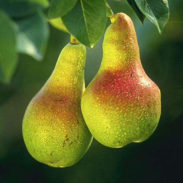 Pregnancy nutrition pears
