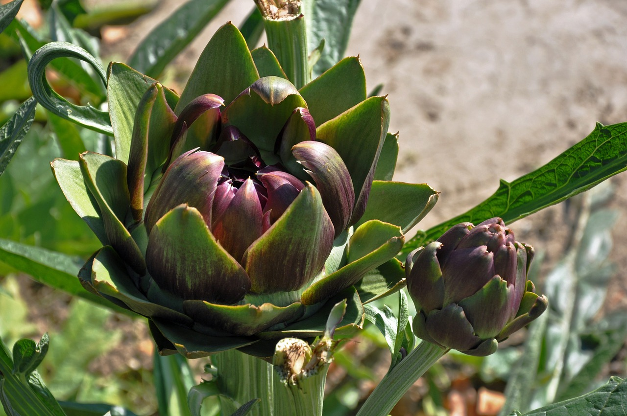 artichoke pregnancy nutrition