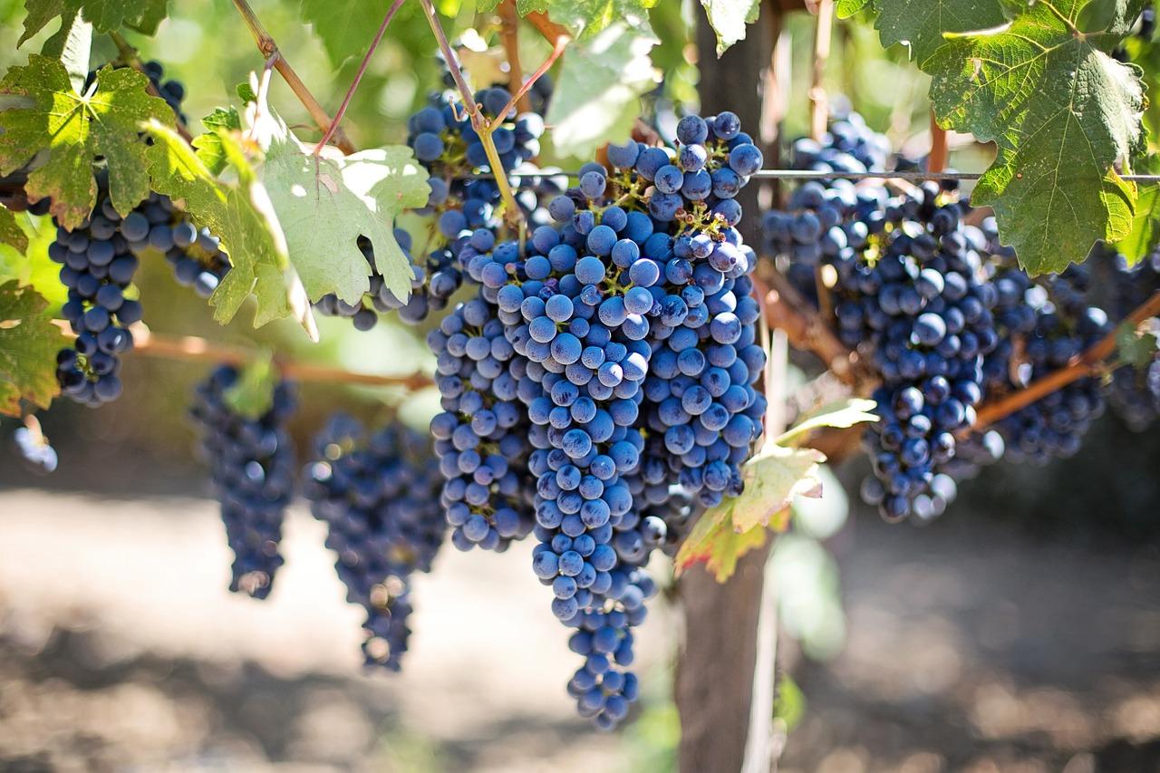 grapes pregnancy nutrition