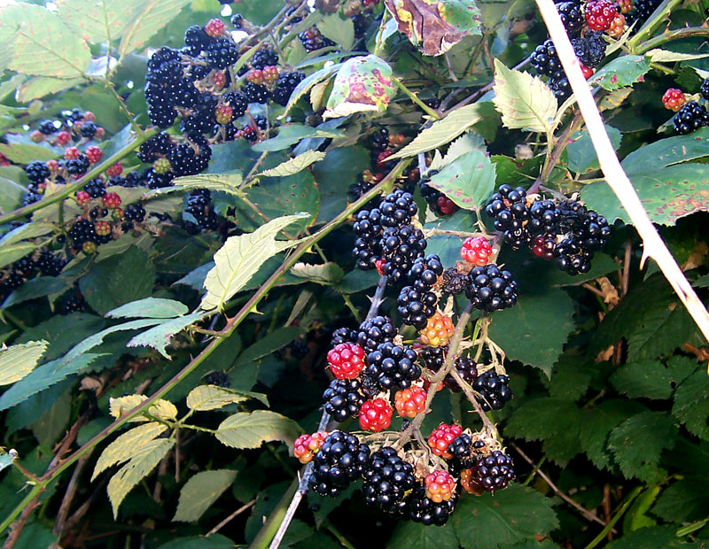 pregnancy nutrition blackberries